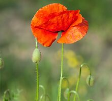 Green wild meadow and red poppy by igorsin