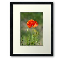 Green wild meadow and red poppy Framed Print