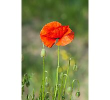 Green wild meadow and red poppy Photographic Print