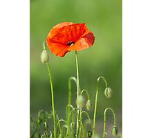 Red poppy flower Photographic Print
