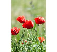 Wild poppy flowers Photographic Print