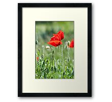 Bright red poppy flowers in summer Framed Print