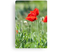 Bright red poppy flowers in summer Canvas Print