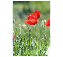 Bright red poppy flowers in summer Poster