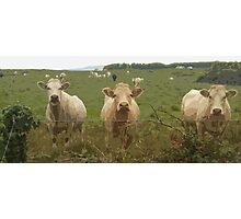 Curious Cork Cows Photographic Print