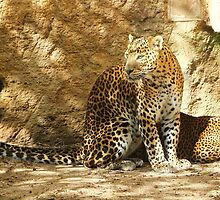 Panther of Sri Lanka by franceslewis