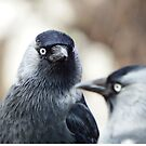 Jackdaws by weecritter