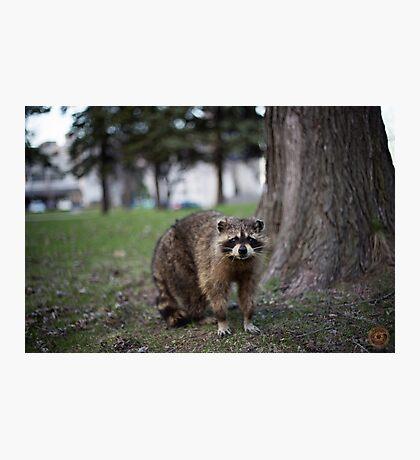 """""""Defiance"""" - Raccoon portrait Photographic Print"""