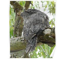 An Older Frogmouth Poster