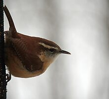 Hungry Wren by WalnutHill
