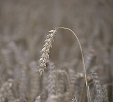 Ripened Barley by Nigel Bangert