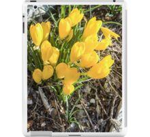 Yellow flowers of the Sternbergia lutea (Autumn daffodil) iPad Case/Skin