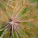 Ladybug by Diego Re