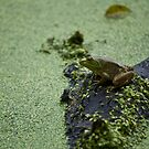 Green Frog by Diego Re