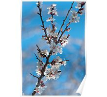 Spring cherry blossom with sky background Poster