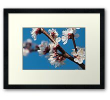 Flowering plum cherry Framed Print