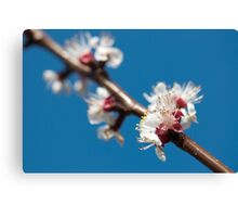 Cherry blossom flowers Canvas Print