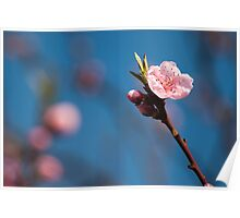 Spring pink cherry blossom with sky background Poster