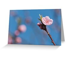 Pink cherry flowering  with sky background Greeting Card