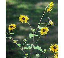 Sunflower Finch Photographic Print