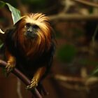Golden headed lion tamarin by JEmerald