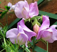 Fragrant Sweet Peas by kathrynsgallery