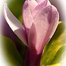 Magnolia Blossom by Mary Carol Story