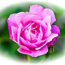 Pink Rose White Vignette by Mary Carol Story