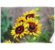 Red and Yellow Black Eyed Susan 1 Poster