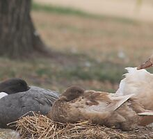 Shhh... Ducks are Sleeping by sphotographie