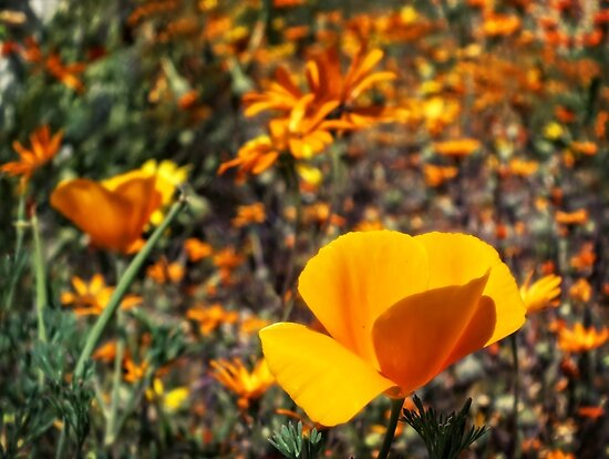Arrival of Spring in the Desert Southwest ~ The Wildflowers are Here! YEAH! by Lucinda Walter