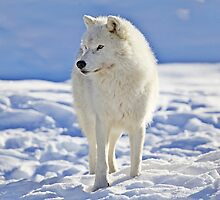 Arctic Wolf (Click and see large!) by John44