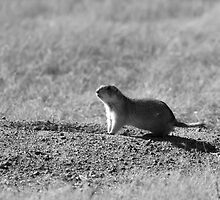 Chester the Prairie Dog by james smith