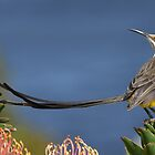 Sugarbird on Pincushion by Macky