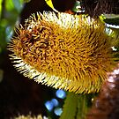 Banksia flower by Peter Krause