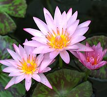 Water Lilies By The Harbour by Michael Matthews