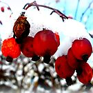 Frozen Rosehips by ©The Creative  Minds
