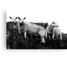Herdwick Sheep in the Lake District National Park, UK Canvas Print