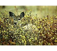 Deer in brush Photographic Print