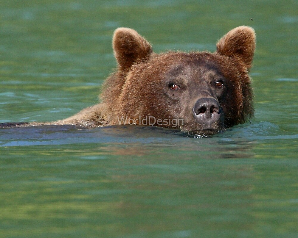 Grizzly Bear Swimming by William C. Gladish, World Design