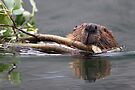 Beaver and Reflection by William C. Gladish