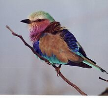 Lilac Breasted Roller by Betty Smith_Voce