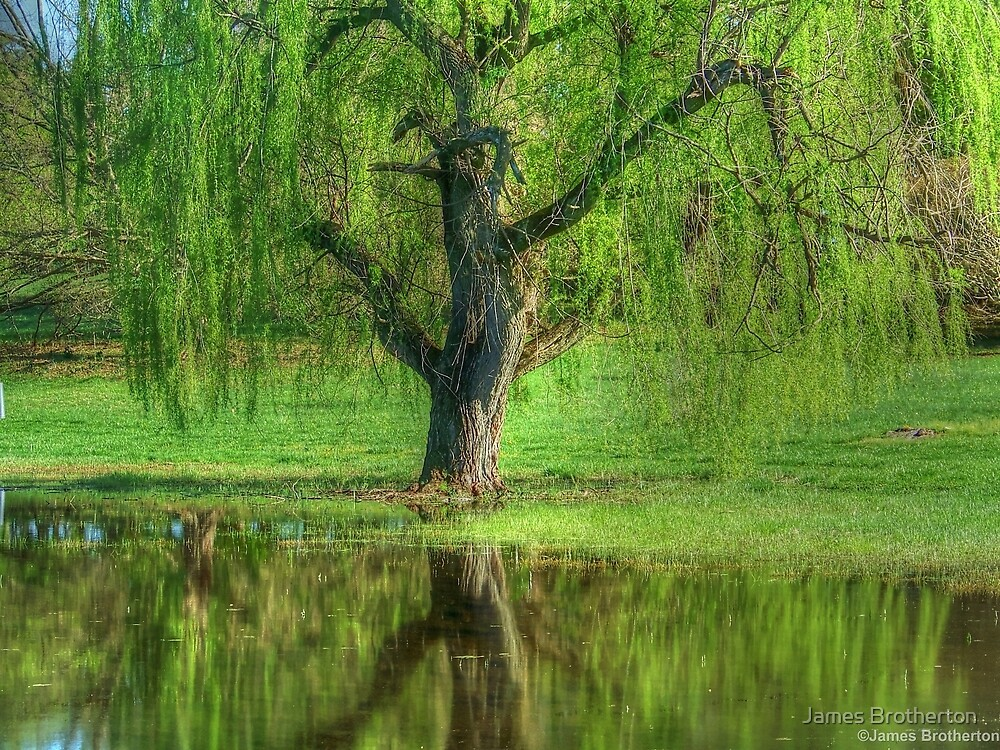 Weeping Willow by James Brotherton