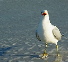 Ring-Billed Gull by Karen Checca