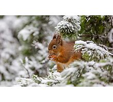Red squirrel in Winter snow Photographic Print