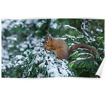 Red squirrel in snow covered pine tree Poster