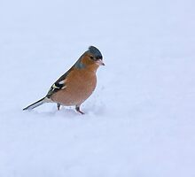 Chaffinch in the snow by M.S. Photography/Art