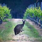 A Grey Western tending Great Western Grapes by 1randomredhead