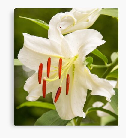Natural Beauty White Star Lily Canvas Print