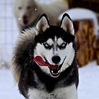 Huskies Playing by AspenWillow